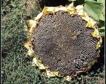 65 Mongolian Sunflower Seeds-1036A