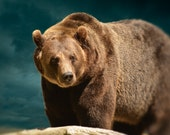 Bear Photography, Brown Bear Photograph, Animal Photo, Man Cave Decor, Masculine Wall Art, Brown and Blue Picture