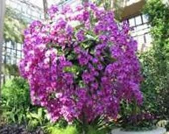 """Orchid Tree Starter Plant with """"FREE"""" Shipping in the Cont. US"""