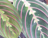 "Prayer Plant Maranta ""Purple Party"" Maranta leuconeura Organic Clean Air Plant"