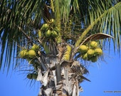 Nuts Coconuts that is, coconut palm tree photography,  11x14 Florida by k. critzer photography