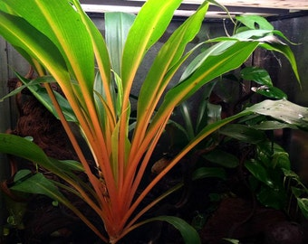 Mandarin Plant, easy houseplant, 25 seeds, Chlorophytum, orange stems, showy foliage, shade garden, as easy to grow as a spider plant