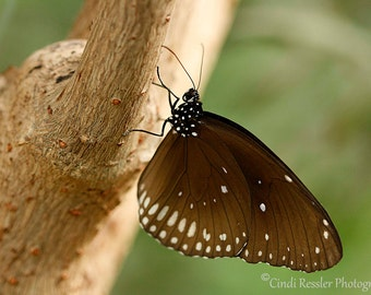 Common Crow Butterfly, Photography, Butterfly Photography, Nature Photography