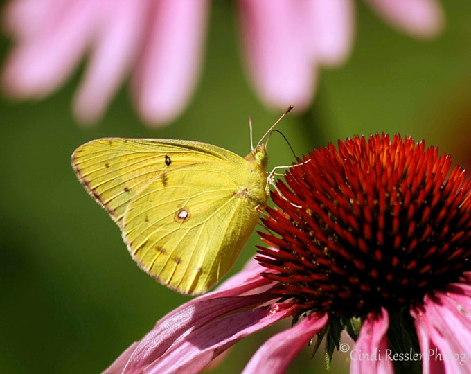 Clouded Sulphur Butterfly, Fine Art Photography, Nature Photography