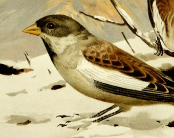 1890 Antique lithograph of SNOWFINCH BIRDS in a snowy landscape. Snowfinches. Songbirds. Ornithology print. 127 years old gorgeous print.