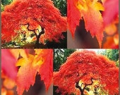 Flame Amur Maple, Bright Red Leaves, Great as a Bonsai Specimen, Grow Your Own, 5 Seeds