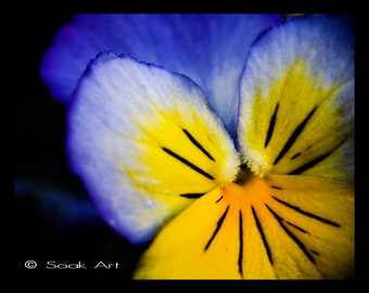 Blue Flower Photo Print, Pansy Close up, Macro Fine Art Print, Blue and Yellow, Monochromatic, 8x10, Still Life, Nature