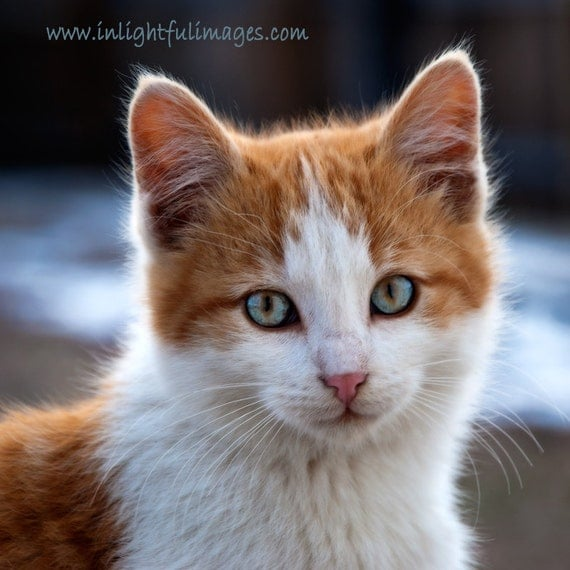 Items similar to Orange and White Tabby Kitten with Blue ...