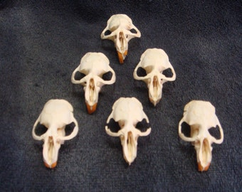 6 Muskrat Skulls,tops only bone,parts