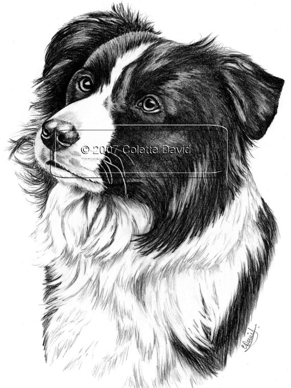 Pencil Drawing Of A Collie Dog Border Collie