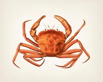 Crab Series 2 - SC-02 - Fine art print of a vintage natural history antique illustration,