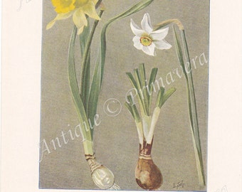 1913 Wild daffodil - Narcissus Pseudonarcissus, Poet's Daffodil - Narcissus poeticus and Moorgrass or Nard grass Antique Coloured Plate