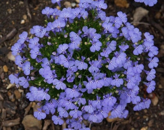 Lobelia seeds,106, flower lobelia, flower seeds, gardening, flower lobelia seeds, blue flower seeds, flower,kristallpalast,lobelia erinus