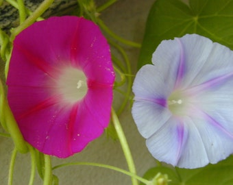 Ipomea mix seeds,502,ipomea purpurea mixed seeds, flower seeds, gardening