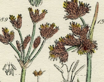 Antique Botanical Print of Wild Flowers, 1914 John Sowerby Water Rush, Cotton Grass, Hand-Coloured Flower Plate (1381 to 1400)