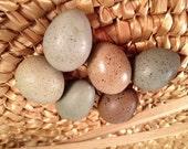 Eggs, One HALF Dozen Button Quail, Clean and Blown for Crafts, Home Decor