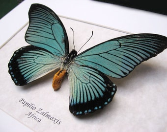Rare Papilio Zalmoxis Real African Butterfly in Museum Quality Display
