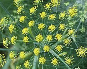 Fennel Sweet - Essential Oil