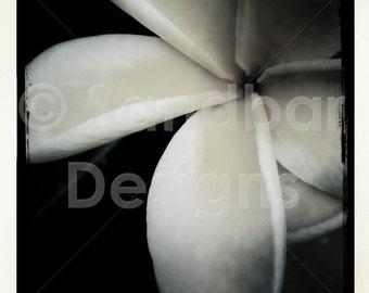 4 x 4 photo Plumeria Flower