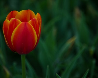 Nature photography, tulip photography, fire tulip