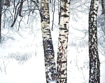 Landscape Photography. Russian birch trees. Winter, Snow. Minimal.