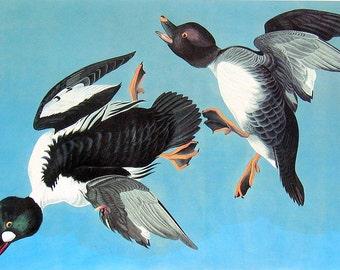 Common Goldeneye - Bird Print - Audubon Birds - 1981 Vintage Audubon Bird Book Page