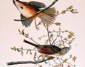 Audubon Bird Print - Song Sparrow - Large 1981 Vintage Audubon Bird Book Page