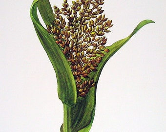 Pannag Millet Plant -  Vintage 1957 Botanical Print with Bible Verse Book Page