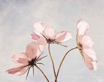 Nature photography, pale pink cosmos flower photo, spring, summer decor, floral wall art, pastel, garden flowers, cottage chic - Blush