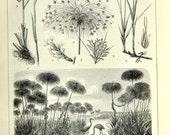 1897 Antique German Botanical Engraving of Cyperaceae / Sedges / Grasses / Rushes / Cattails - TW13 102