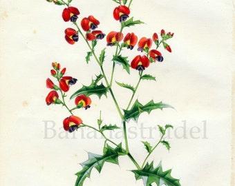 1847 Rare Vintage Botanical Print by Joseph Paxton - Chorozema Triangulare - Handcolored