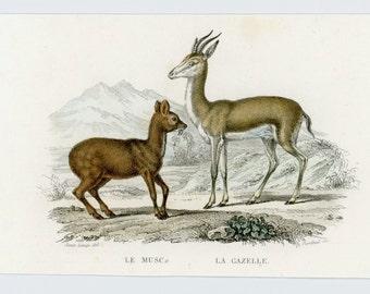 1837 gazelle and antelope original antique animal engraving print