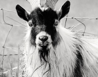 Billy Goat Photograph, Black and White Photography, Cute Goat Art