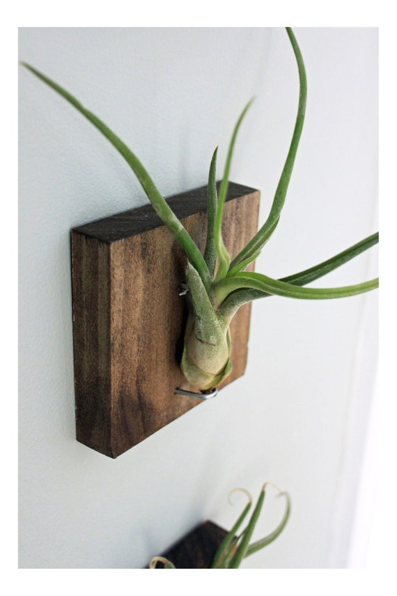 Items Similar To Mounted Air Plant Wall Decor Medusa 39 S