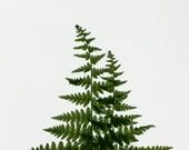 Green Fern, plant, leaf, spring, simple - shyphotog