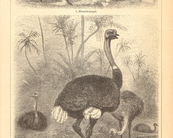 1905 Flightless Birds, Ratites, Ostrich, Greater Rhea, Emu, Cassowary, Kiwi Original Antique Engraving to Frame