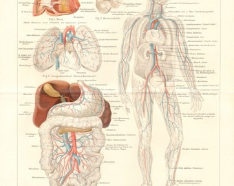 1893 Main Veins, Blood Vessels of the Human Body Original Antique Lithograph