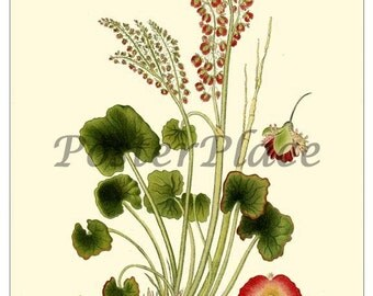 Art Card - Mountain Sorrel botanical print reproduction 360