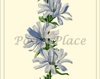 Art Card - Chicory -  Antique Botanical print reproduction