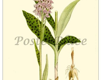 ART CARD - Spotted Orchid Botanical reproduction 399