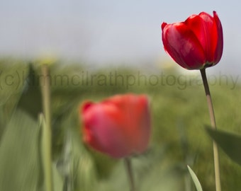 Digital Download - Fort Tryon Tulips