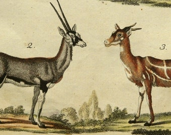 1790 Antique print of GAZELLES and ANTELOPES, different species. Gazelle. Antelope. 224 years old nice copper engraving.