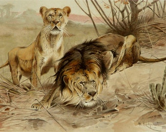 1890 Antique print of a LION and LIONESS. Big Cats. Lions. 126 years old gorgeous lithograph.
