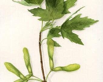 Original Silver Maple Botanical Watercolour