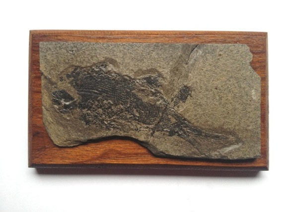 Mounted Cretaceous fossil fish, fish scales, palaeontology, paleontology, unknown species, fossil collector, teaching specimen, wall hanging