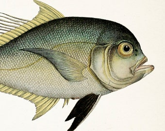 Befuddled 1801 Fish Drawing. Cleftbelly Trevally - 8x10 Fine art print of a vintage natural history antique illustration