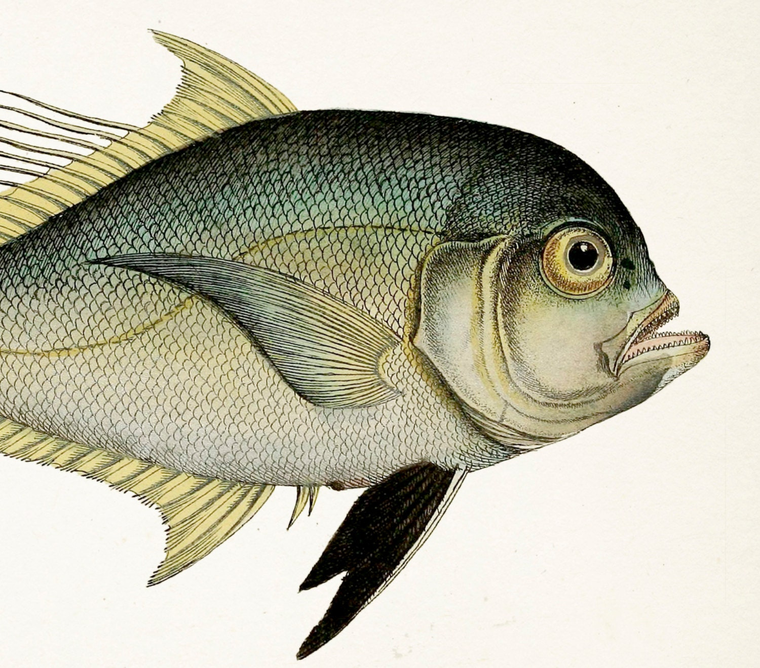 Befuddled 1801 fish drawing cleftbelly trevally 8x10 fine for The history of fish