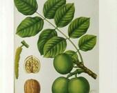 Walnut Tree Art Print by Prestele Book Plate SALE Buy 3, get 1 FREE