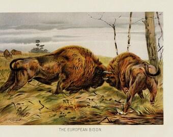 1901 Antique BISON print, wild ox fighting, original antique gorgeous print