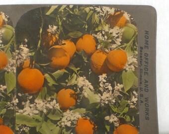 Antique Color Stereograph Card Florida Orange Grove Oranges Vintage Victorian 1906 GallivantsVintage